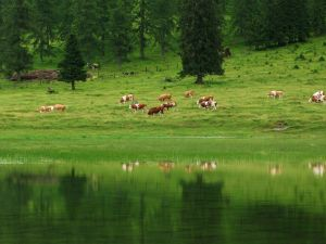 Kühe © Dr. Hermann Verderber