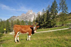 Geschmückte Kuh © TVB Filzmoose/Alfred Hahn